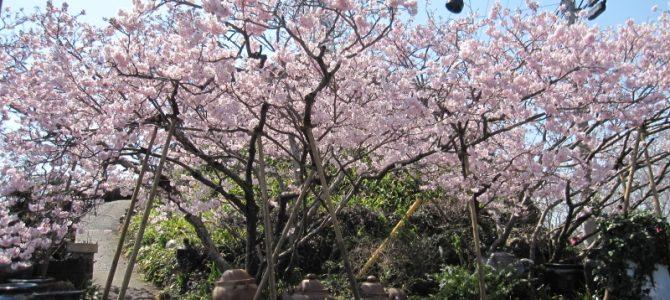 森陶器の名物桜がほぼ満開になりそうです!
