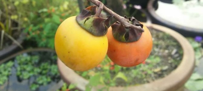 秋の風景  誰も種類を知らない…柿