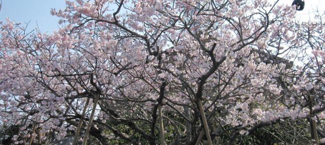 森陶器桜、ほぼ満開!!