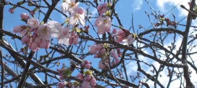 森窯 桜の開花宣言!!