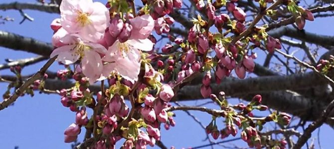 森窯桜開花宣言