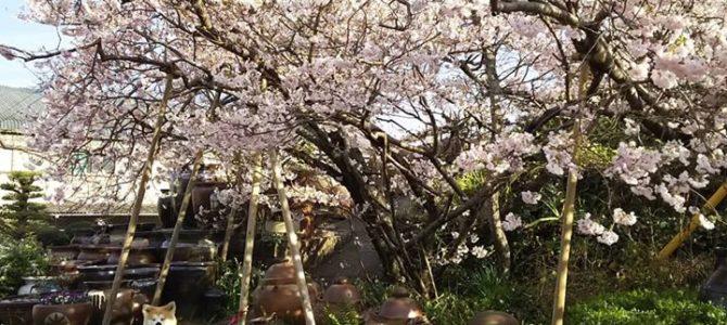 森窯桜と秋田犬のくるみ